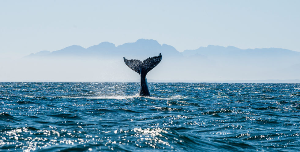 Whale breaching and diving.